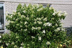 Great Star™ Hydrangea (Hydrangea paniculata 'Le Vasterival') at Homestead Gardens