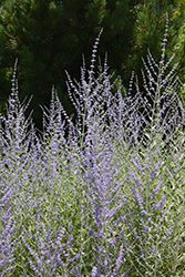 Filigran Russian Sage (Perovskia 'Filigran') at Homestead Gardens