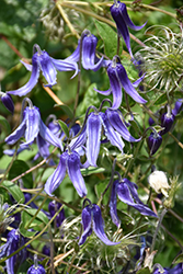 Solitary Clematis (Clematis integrifolia) at Homestead Gardens