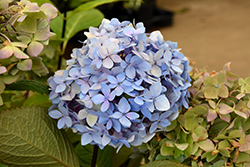 Blue Enchantress Hydrangea (Hydrangea macrophylla 'Monmar') at Homestead Gardens
