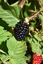 Chester Thornless Blackberry (Rubus 'Chester') at Homestead Gardens