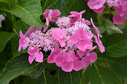 Let's Dance® Starlight Hydrangea (Hydrangea macrophylla 'Lynn') at Homestead Gardens