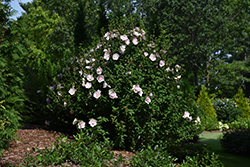 Pink Chiffon® Rose of Sharon (Hibiscus syriacus 'JWNWOOD4') at Homestead Gardens