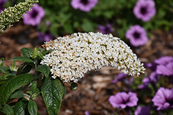 Pugster® White Butterfly Bush (Buddleia 'SMNBDW') at Homestead Gardens