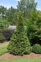 Soft Serve® Falsecypress (Chamaecyparis pisifera 'Dow Whiting') at Homestead Gardens