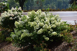 Little Lime® Hydrangea (Hydrangea paniculata 'Jane') at Homestead Gardens