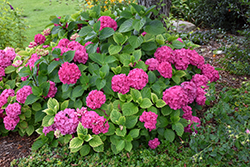 Let's Dance® Rave® Hydrangea (Hydrangea macrophylla 'SMNHMSIGMA') at Homestead Gardens