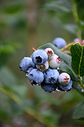 Chippewa Blueberry (Vaccinium 'Chippewa') at Homestead Gardens