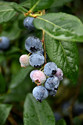 Blue Jay Blueberry (Vaccinium corymbosum 'Blue Jay') at Homestead Gardens
