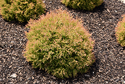 Fire Chief™ Arborvitae (Thuja occidentalis 'Congabe') at Homestead Gardens