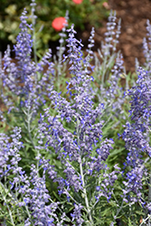 Lacey Blue Russian Sage (Perovskia atriplicifolia 'Lacey Blue') at Homestead Gardens