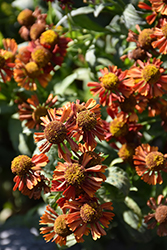Ruby Tuesday Sneezeweed (Helenium 'Ruby Tuesday') at Homestead Gardens