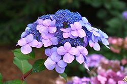 Twist-n-Shout® Hydrangea (Hydrangea macrophylla 'PIIHM-I') at Homestead Gardens