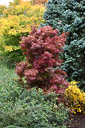 Twombly's Red Sentinel Japanese Maple (Acer palmatum 'Twombly's Red Sentinel') at Homestead Gardens