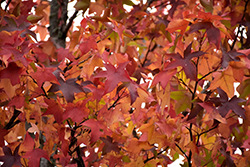Sweet Gum (Liquidambar styraciflua) at Homestead Gardens