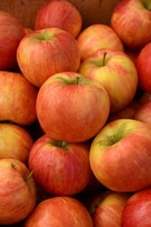 Honeycrisp Apple (Malus 'Honeycrisp') at Homestead Gardens