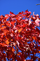 October Glory Red Maple (Acer rubrum 'October Glory') at Homestead Gardens