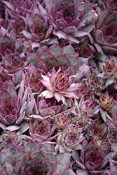 Red Beauty Hens And Chicks (Sempervivum 'Red Beauty') at Homestead Gardens