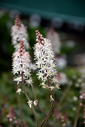 Pink Skyrocket Foamflower (Tiarella 'Pink Skyrocket') at Homestead Gardens