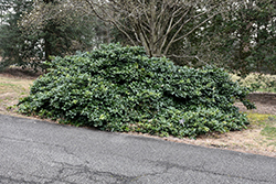 Maryland Dwarf American Holly (Ilex opaca 'Maryland Dwarf') at Homestead Gardens