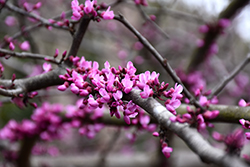 Burgundy Hearts Redbud (Cercis canadensis 'Greswan') at Homestead Gardens