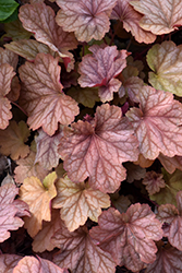 Carnival Watermelon Coral Bells (Heuchera 'Watermelon') at Homestead Gardens