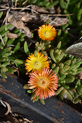 Wheels of Wonder™ Orange Wonder Ice Plant (Delosperma 'WOWDOY3') at Homestead Gardens