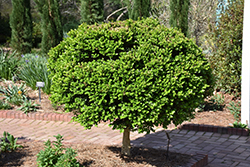 Common Boxwood (tree form) (Buxus sempervirens '(tree form)') at Homestead Gardens