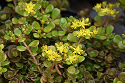 Chinese Sedum (Sedum tetractinum) at Homestead Gardens