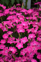 Kahori® Pink Pinks (Dianthus 'Kahori Pink') at Homestead Gardens