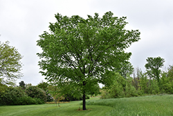 Valley Forge Elm (Ulmus americana 'Valley Forge') at Homestead Gardens