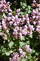 Pink Pewter Spotted Dead Nettle (Lamium maculatum 'Pink Pewter') at Homestead Gardens