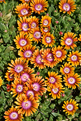Fire Spinner Ice Plant (Delosperma 'Fire Spinner') at Homestead Gardens