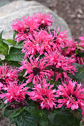 Cranberry Lace Beebalm (Monarda 'Cranberry Lace') at Homestead Gardens