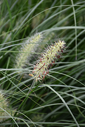 Little Bunny Dwarf Fountain Grass (Pennisetum alopecuroides 'Little Bunny') at Homestead Gardens