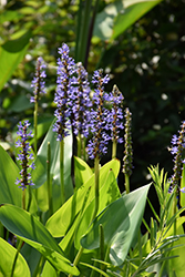 Pickerelweed (Pontederia cordata) at Homestead Gardens