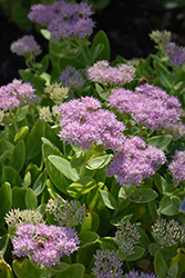 Crystal Pink Stonecrop (Sedum spectabile 'Crystal Pink') at Homestead Gardens