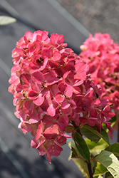 Fire Light® Hydrangea (Hydrangea paniculata 'SMHPFL') at Homestead Gardens