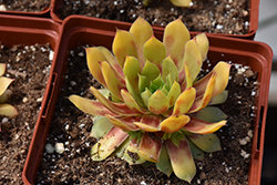 Gold Nugget™ Hens And Chicks (Sempervivum 'Gold Nugget') at Homestead Gardens