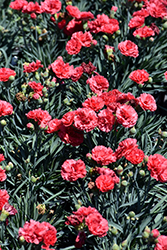 Early Bird™ Chili Pinks (Dianthus 'Wp10 Sab06') at Homestead Gardens