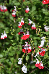 Hot Lips Sage (Salvia microphylla 'Hot Lips') at Homestead Gardens