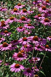 PowWow Wild Berry Coneflower (Echinacea purpurea 'PowWow Wild Berry') at Homestead Gardens