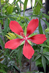Scarlet Rose Mallow (Hibiscus coccineus) at Homestead Gardens