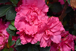 Bloom-A-Thon® Pink Double Azalea (Rhododendron 'RLH1-2P8') at Homestead Gardens